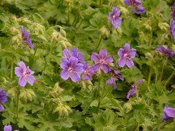 geranium bushes with purple flowers