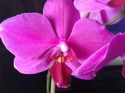 macro photo of a bright pink orchid