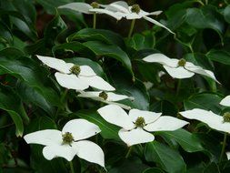 dogwood bush with white flowers