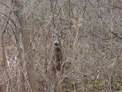 white-tailed deer hiding
