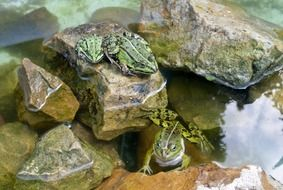 two frogs by the stones in the pond