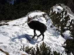 chamois snow animal