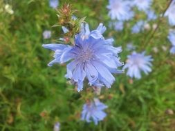 blue chicory flowers in the meadow