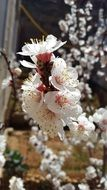 flowering apricot in damascus