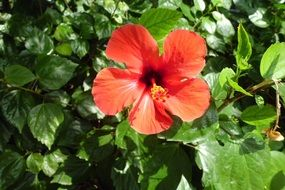 red hibiscus flower with green leaves on a bush