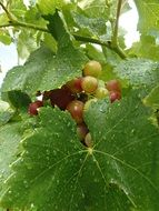 bunch of grapes behind green leaves