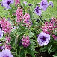 purple petunias in the garden