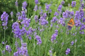 orange butterfly among lavender