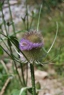 wild purple thistle flower in the forest