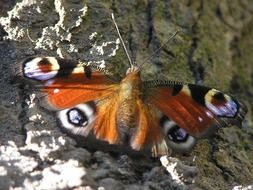 filigreed butterfly with eyespots