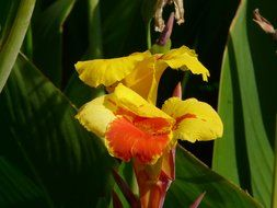 yellow-red flower canna among large green leaves