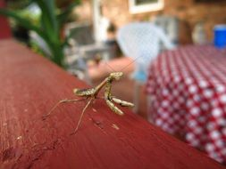 mantis on a wooden terrace