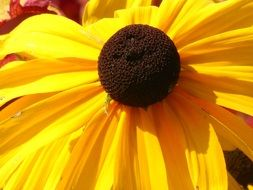 yellow flower black eyed susan