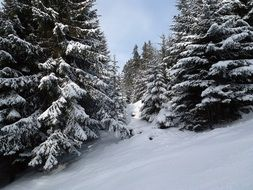 snow-covered slope with conifers