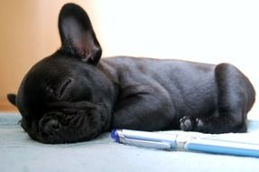 Cute French bulldog sleeps