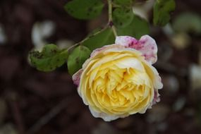 bush with yellow rose