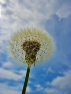 dandelion with seeds against the sky