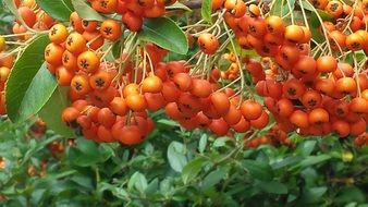orange rowanberries