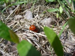 ladybugs mating on dry grass