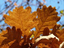 oak leaves in a sunny autumn day