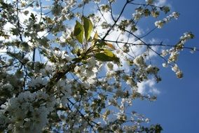 cherry branches with flowers at sky