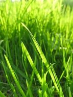 green grass in a meadow close-up