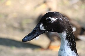 profile portrait of a duck with a black head