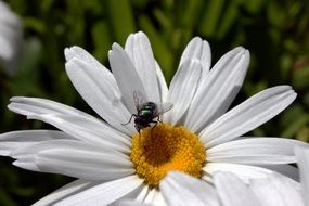 fly on a white daisy