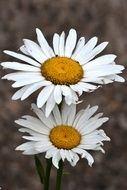 two daisies close up