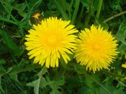 Two bright yellow dandelions among green grass