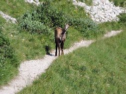Chamois on the mountain