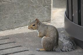 gray squirrel sits on a city street