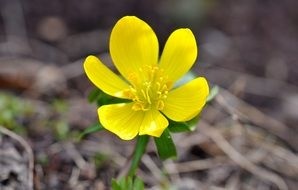 delicate yellow flower in early spring