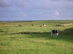 cows in a green meadow