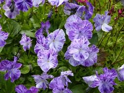 purple flowers with white stripes on the flowerbed