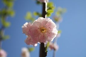 Pink flowers on an almond tree branch
