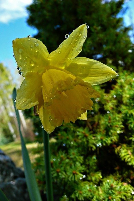 yellow daffodil in raindrops
