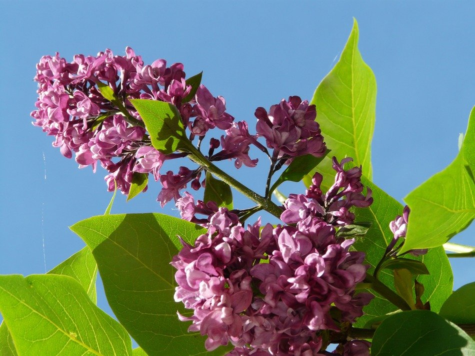 lilac branch with purple flowers on a background of blue sky