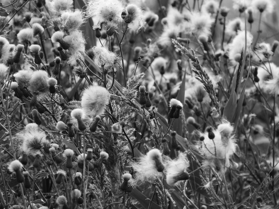 black-and-white image of a plant with fluff