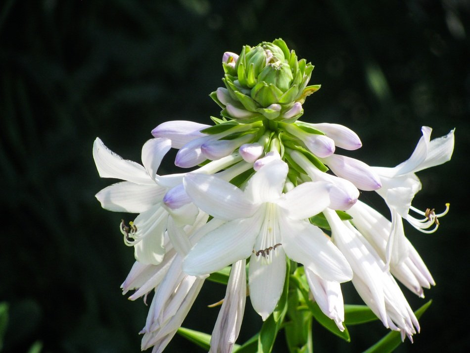 plant with white oblong flowers