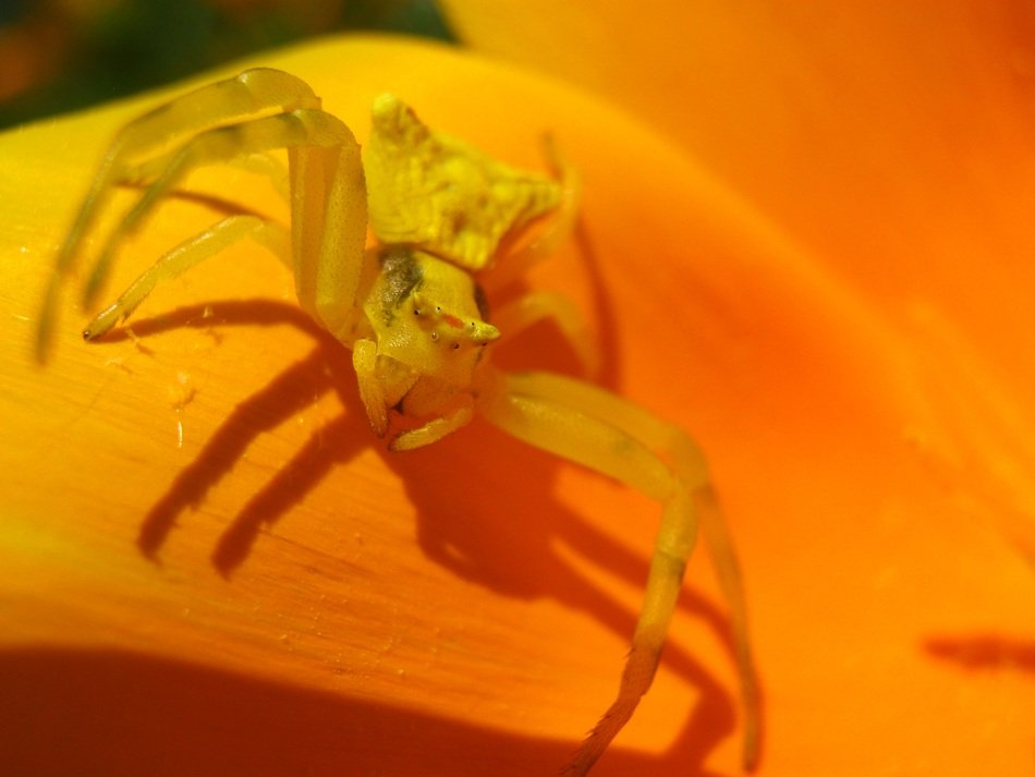Yellow spider closeup