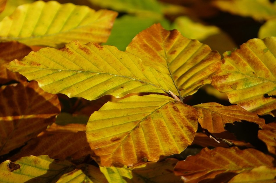 Beech Golden-yellow leaves
