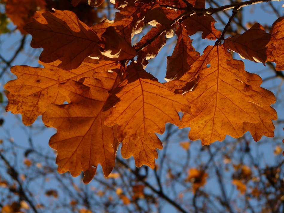 oak leaves on a background of blue sky autumn