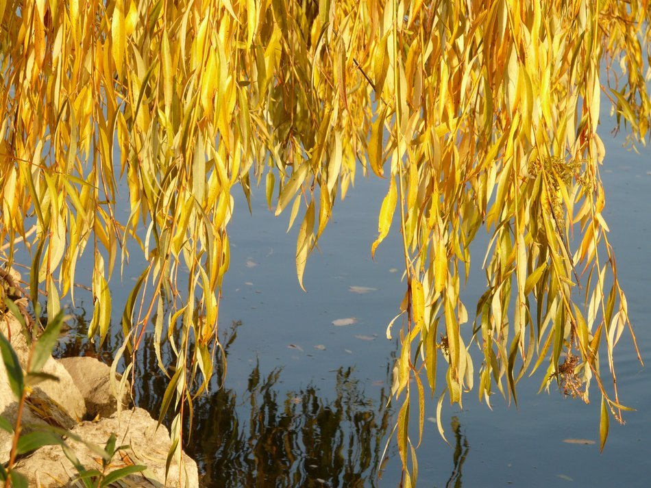 willow leaves over water in autumn
