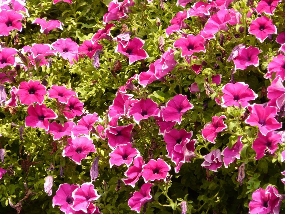 green bushs with bright pink flowers