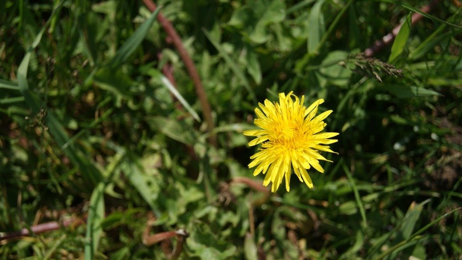 yellow blossom dandelion flower