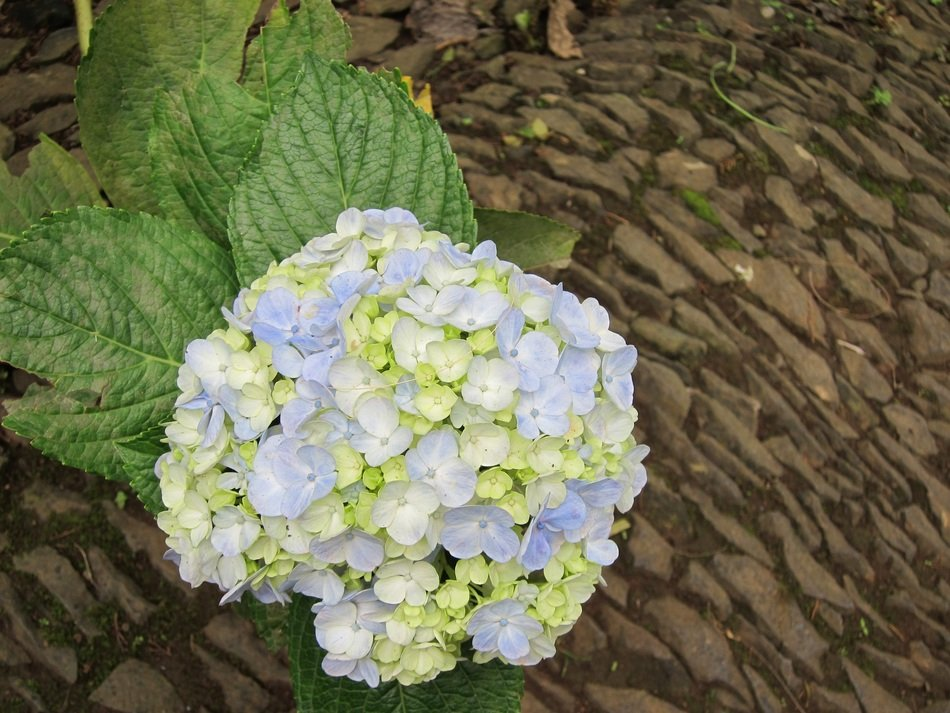 blue-white hydrangea in the garden