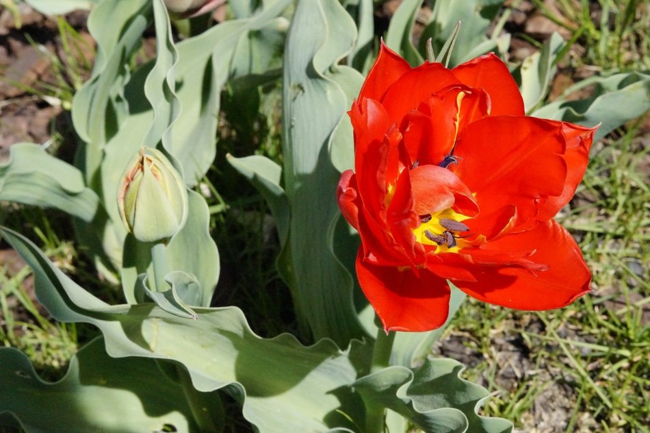 Beautiful yellow and red tulip flower blooming in spring