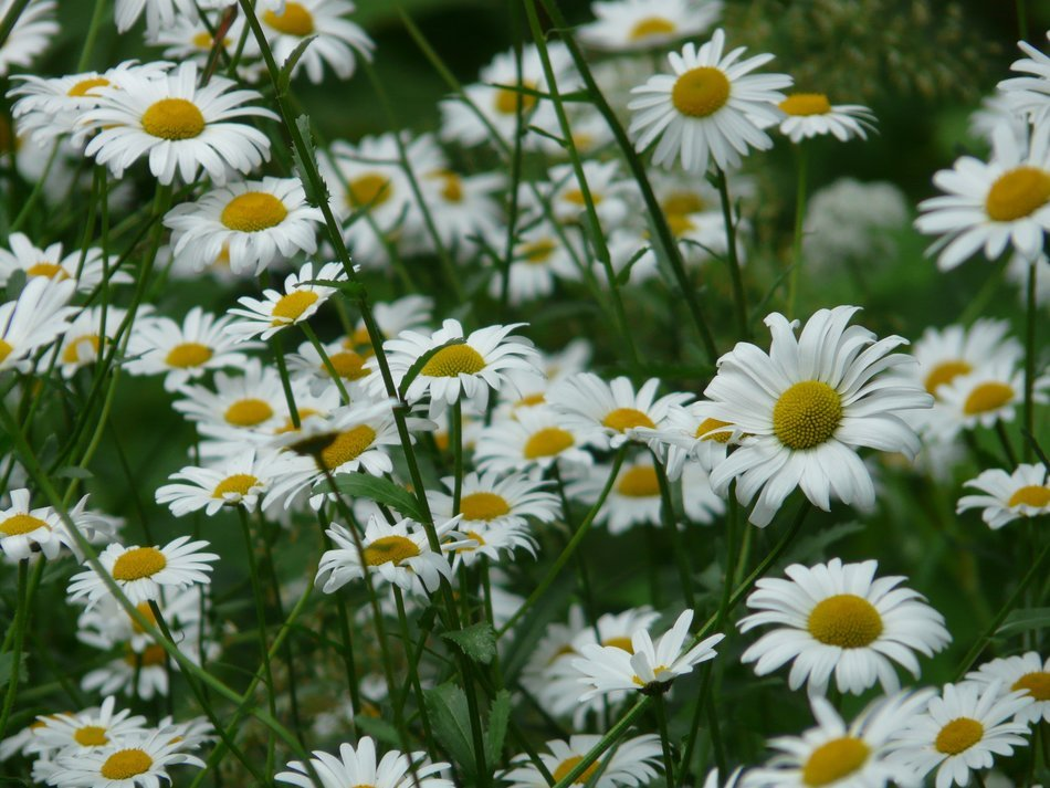meadow white daisies close-up