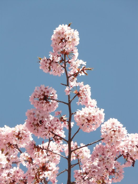 pink flowering of ornamental cherry